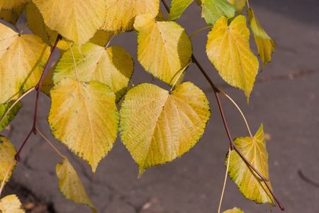 transition: Smooth transition of leaves of a linden from green in yellow color Stock Photo