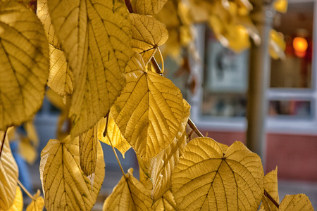 absorb: yellow leaves absorb the last heat dawn Stock Photo