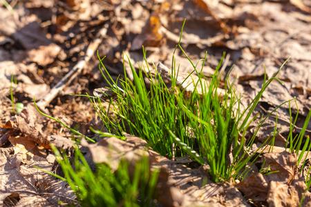 hojas antiguas: primero hierba verde rompe a trav�s de las hojas viejas