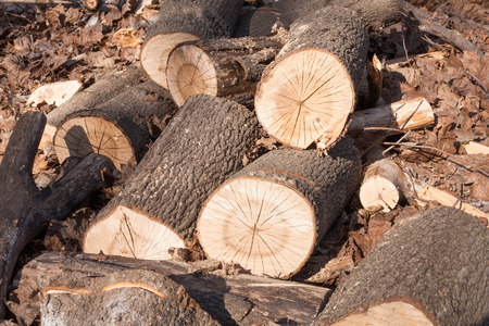 recently: recently sawn logs lie on last years dry leaves