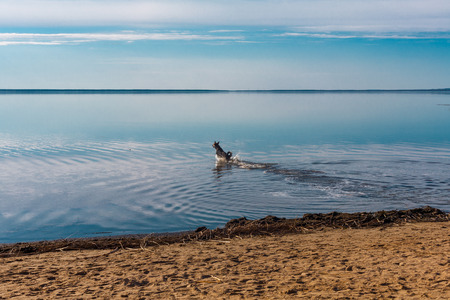 rushes: black dog rushes fearlessly into the water for a swim past a stick Stock Photo