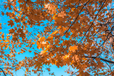 tranquillity: Autumn yellow leaves on a maple against the bottomless blue sky.