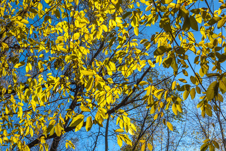 bottomless: Autumn yellow leaves on a maple against the bottomless blue sky.