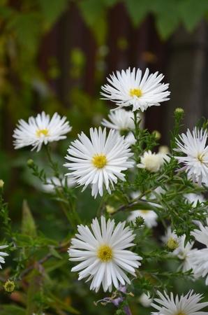Flowers shrubby asters - Dumosus. Imagens