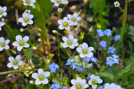 Yaskolka  Latin - Flower-saxifrage for  Alpine slide  in recent years and is often found in the beds  Stock Photo - 14553245