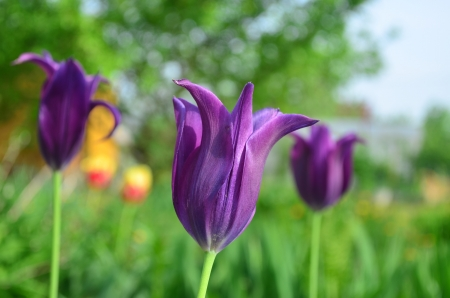 atilde: Group Purple lily on a bed of tulips  Latin  Túlipa   Stock Photo