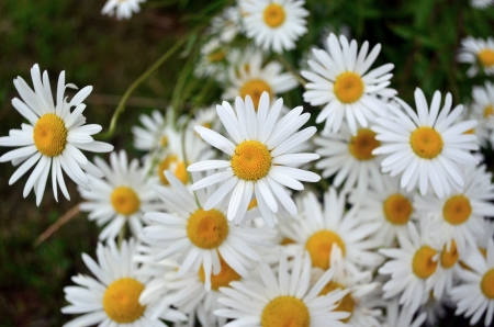 A lot of daisies, flower bed  Stock Photo