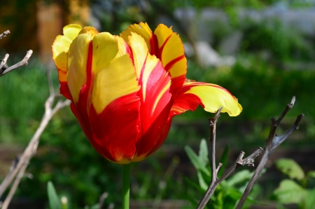 Colorful red and yellow tulips growing in the flowerbed Stock Photo