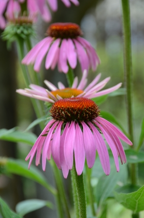Purple coneflower  is not only pleasing to the eye of gardeners, but also used in folk medicine  Cultivated as an ornamental and medicinal plant  Stock Photo
