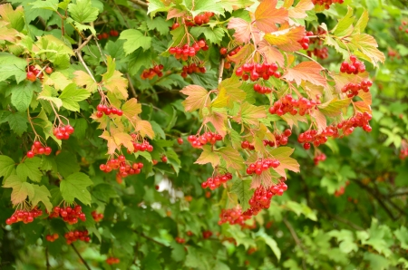 adaptable: The red cranberry  Sometimes wild cranberry is highly adaptable in the garden