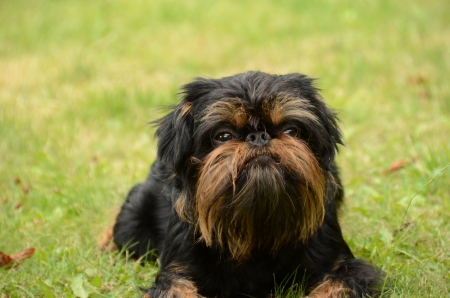 brussels griffon: Dog, Belgian Griffon, lies on the lawn  Stock Photo