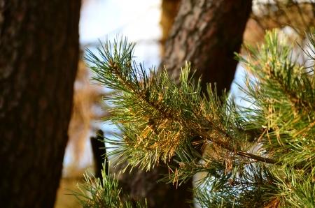 branche pin: Branche de pin au coucher du soleil