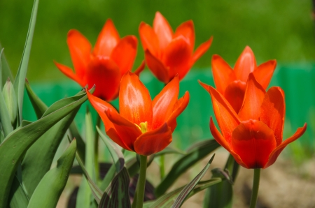 spring bed: Group of orange, fiery tulips on a bed in a garden Stock Photo