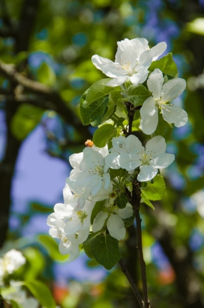 Blossoming apple-trees in a spring garden photo