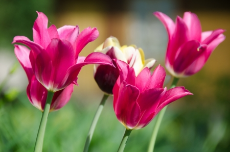 Pink tulips on a bed in a garden Imagens