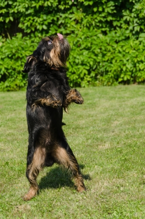 The black dog on a green lawn on back pads dances Break-dance photo