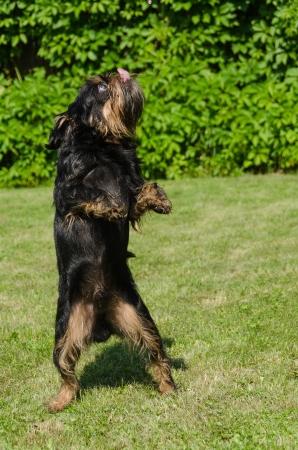 The black dog on a green lawn on back pads dances Break-dance