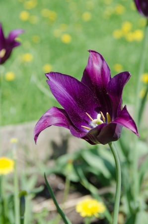Purple lily tulip