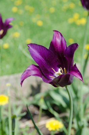 atilde: Purple lily tulip