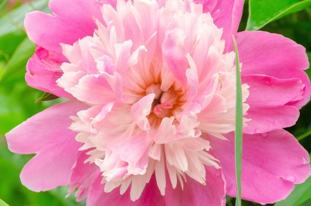 flowerbed: Pink peony in the garden on a sunny flowerbed