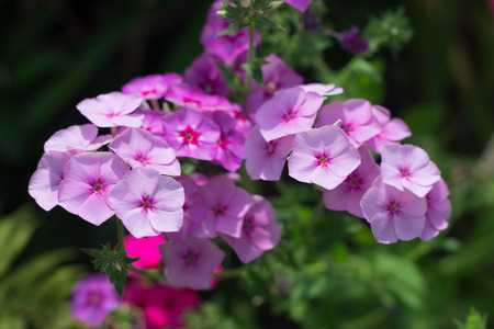 underlying: Pink phlox on the flower bed Stock Photo