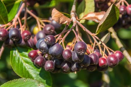 aronia: Chokeberry branch Stock Photo