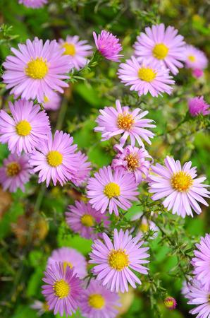 Autumn flowers shrub asters - Dumosus.