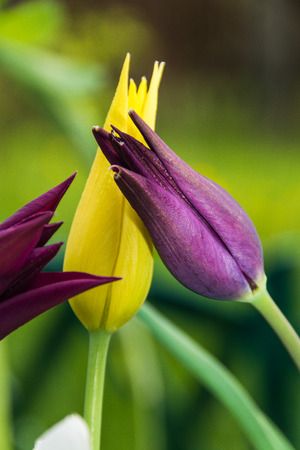 inflorescence: Lily tulips