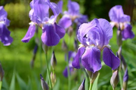 irises: Blue irises Stock Photo