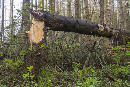 Fallen tree in the coniferous forest a consequence of windbreak