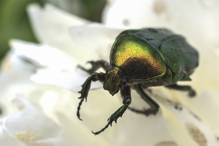 hexapod: The June beetle on a white flower