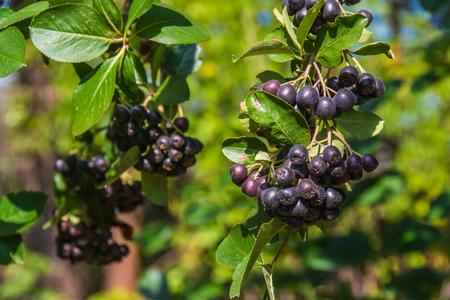 aronia: Chokeberry or Aronia Michurina