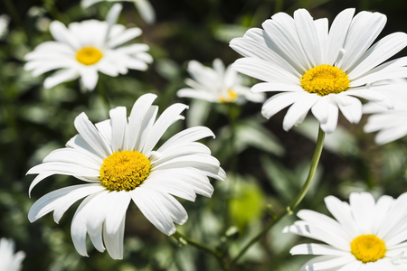 flowerbed: Daisies - ornamental and medicinal flowers