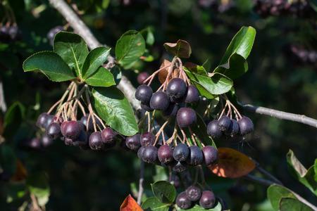 chokeberry: Brush chokeberry, aronia Michurina growing on a tree
