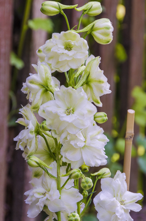 Flowers of the white delphinium in summer on a garden bed