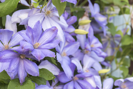Flowers purple clematis, perennial eel for decorative outdoor breeding