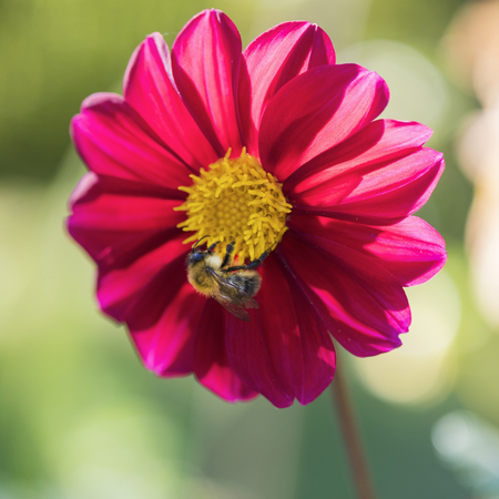 Bumblebee on a pink dahlia in a summer garden on a flower bed
