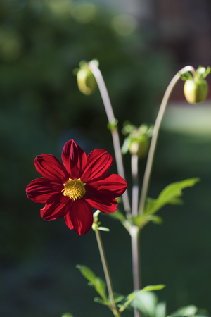 Scarlet dahlia type Bambino summer day on a sunny flower bed Stock Photo