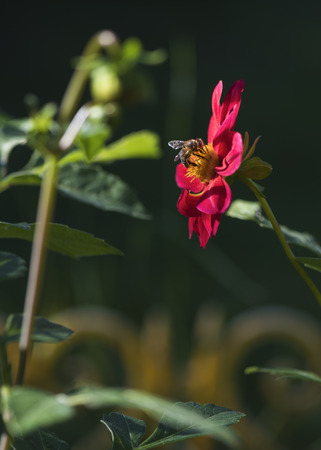 A bee on a pink dahlia in a summer garden on a flower bed Stock Photo