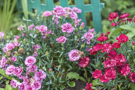 Carnation chabot in the summer garden on the flowerbed