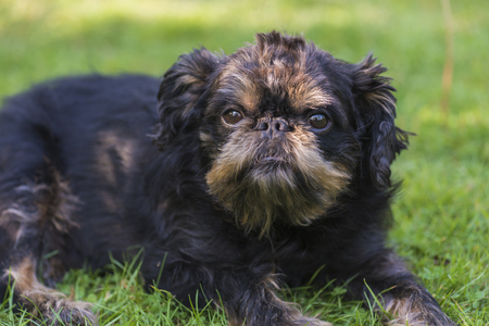 The dog of the Belgian griffon, lying on the lawn with a close look
