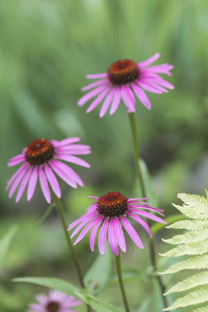 Flowers pink coneflower (Rudbeckia) on a bed in the garden