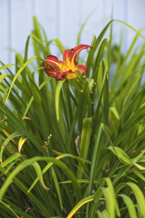 Red and yellow lily on a green background of plants in the garden Imagens
