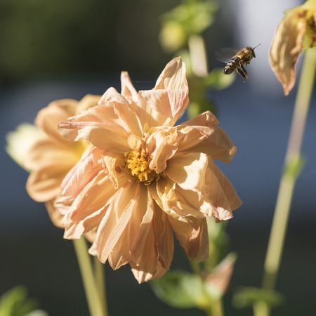 Bee flying away from a dull orange flower of dahlia