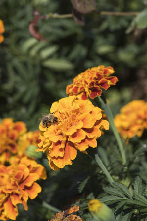 Shaggy bumblebee on an orange flower in sunny weather