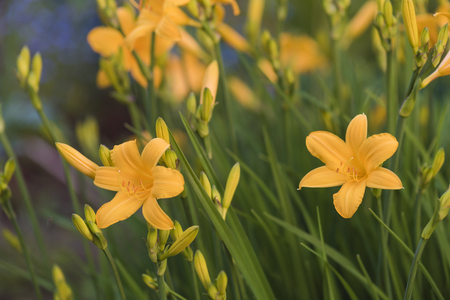 Many yellow lilies are overgrown with daylilies Imagens
