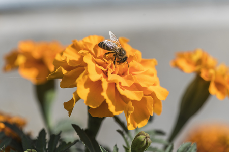 Flowers of marigolds and a bee on a flower in a summer garden