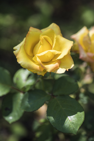 Shrub and flower of a yellow rose on a sunny day in summer