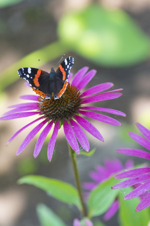 Brown-orange butterfly Admiral on a pink flower Rudbeckia