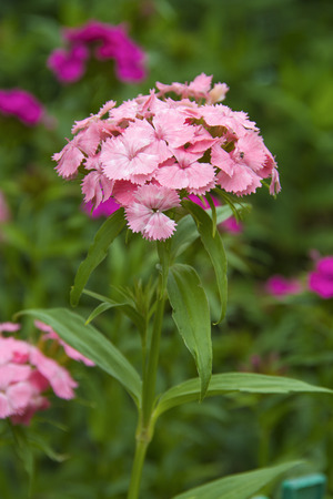 Flowers pink carnations